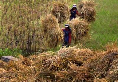 meningkatkan nutrisi jerami padi