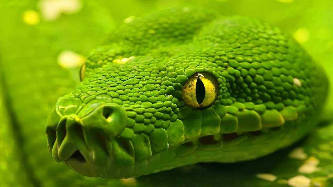 Green Snake HD Wallpaper 2