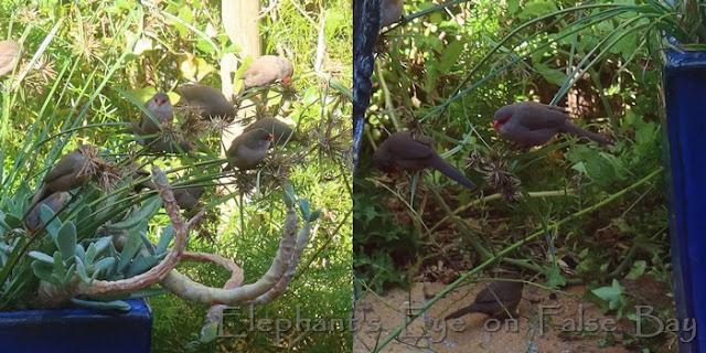 Waxbills eating purple sedge seeds