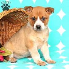 Australian Cattle Dog Puppies For Sale Craigslist Dogs Puppies