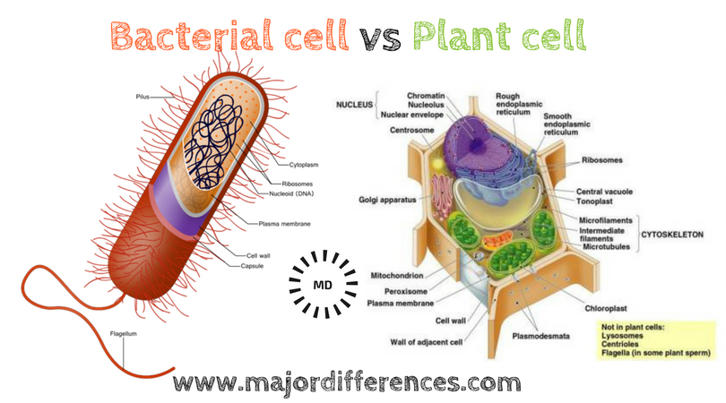Difference between bacterial cell and plant cell bacterial cell vs difference between bacterial cell and plant cell bacterial cell vs plant cell ccuart Choice Image