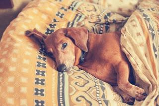 cães com dor