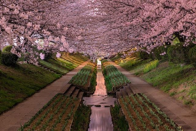 Chùm ảnh đẹp Hoa Anh Đào Nhật Bản vào tháng 02/2020 5