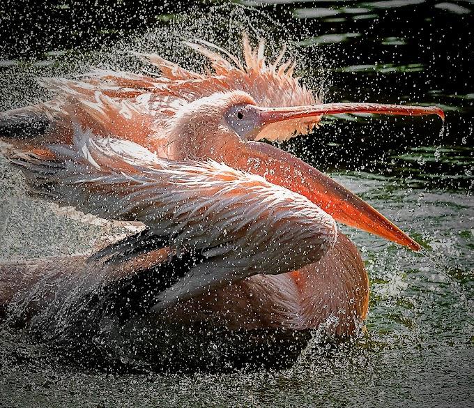 Great White Pelican New Delhi