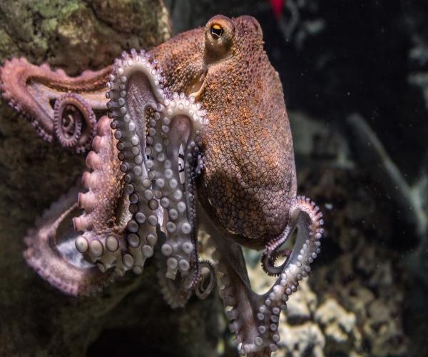 Octopus-vulgaris