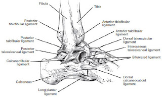 lateral ligaments of the ankle joint