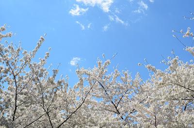 drzewa pokryte kwiatami, Marzanna, cykl roczny, wiosna, Jare Gody