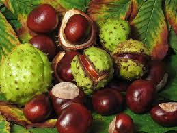 cara mengobati benjolan di dubur dengan horse chestnut