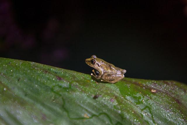 Una rana diminuta en el Heliconias Lodge en Bijagua