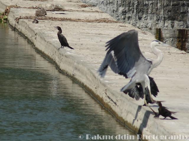 Grey Heron at Pashan Lake, Pune, Maharashtra, India