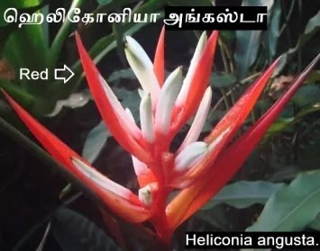 Heliconia angusta - Red Christmas.