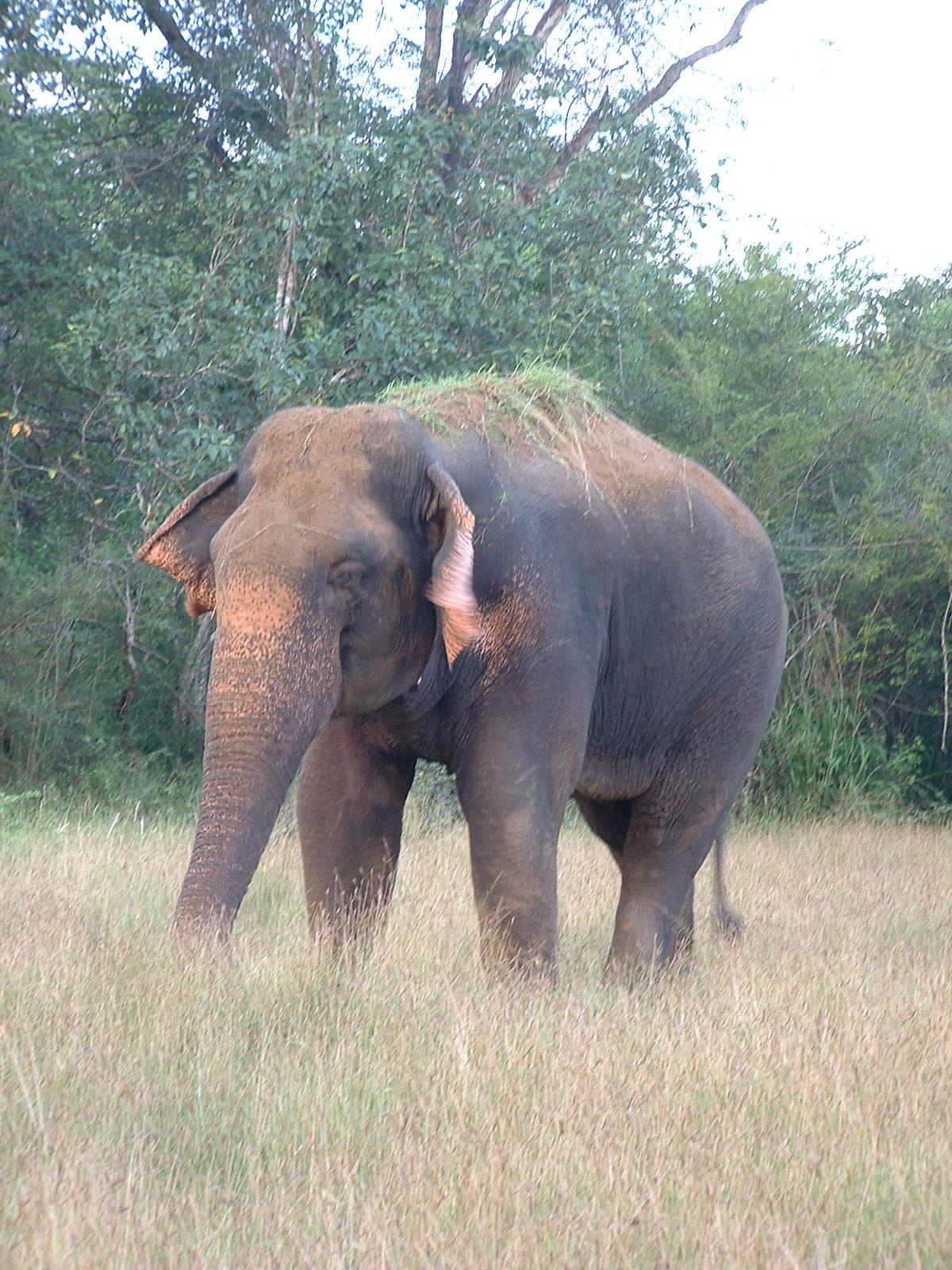 """Sri Lanka Images: """"Thani Aliya"""" - Isolated Elephant  Sri Lanka Image..."""