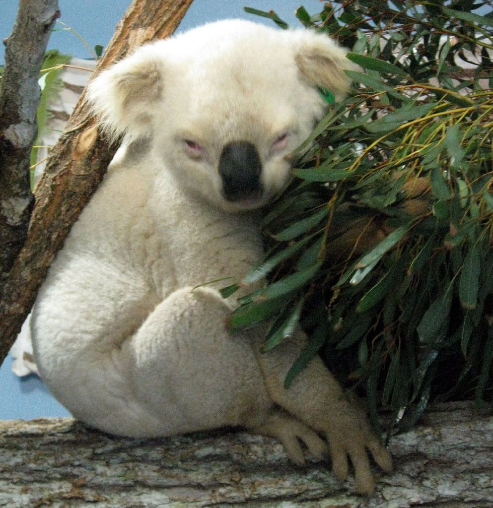 20. Aussie Mick, the rare white koala by Sam Carroll