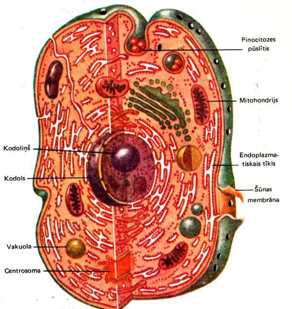 šūnas uzbūves shēma