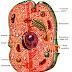 Cilvēka organisma šūnu uzbūve