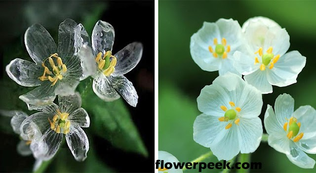 Easy ways to grow and care for Skeleton Flower