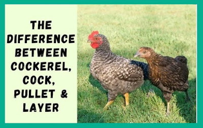 Difference Between Cockerel, Cock, Pullet & Layer