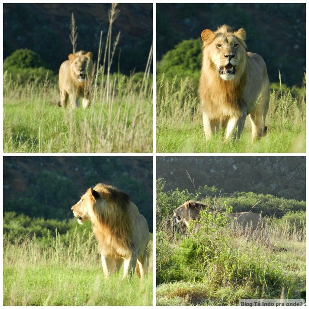 leão no safári