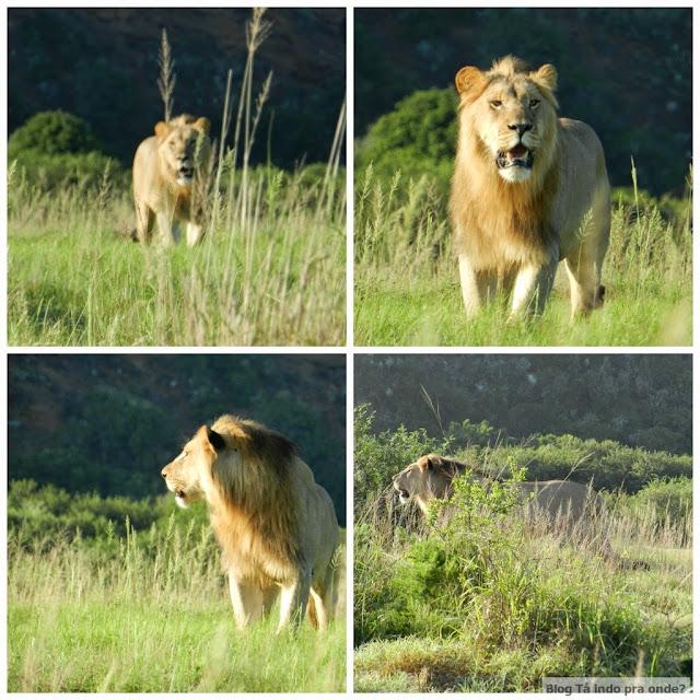 safári na Shamwari Game Reserve, África do Sul