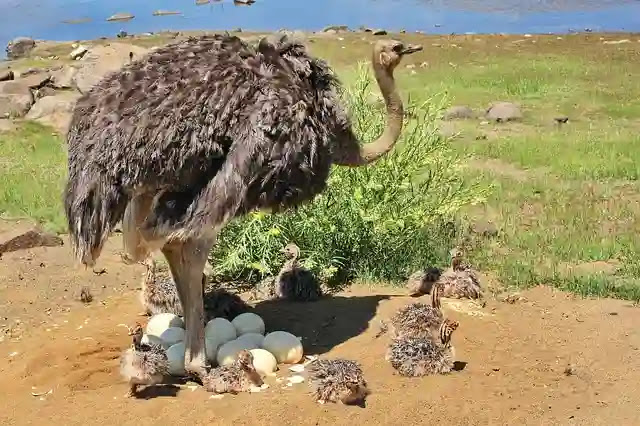 Unknown Facts About Ostrich in Hindi