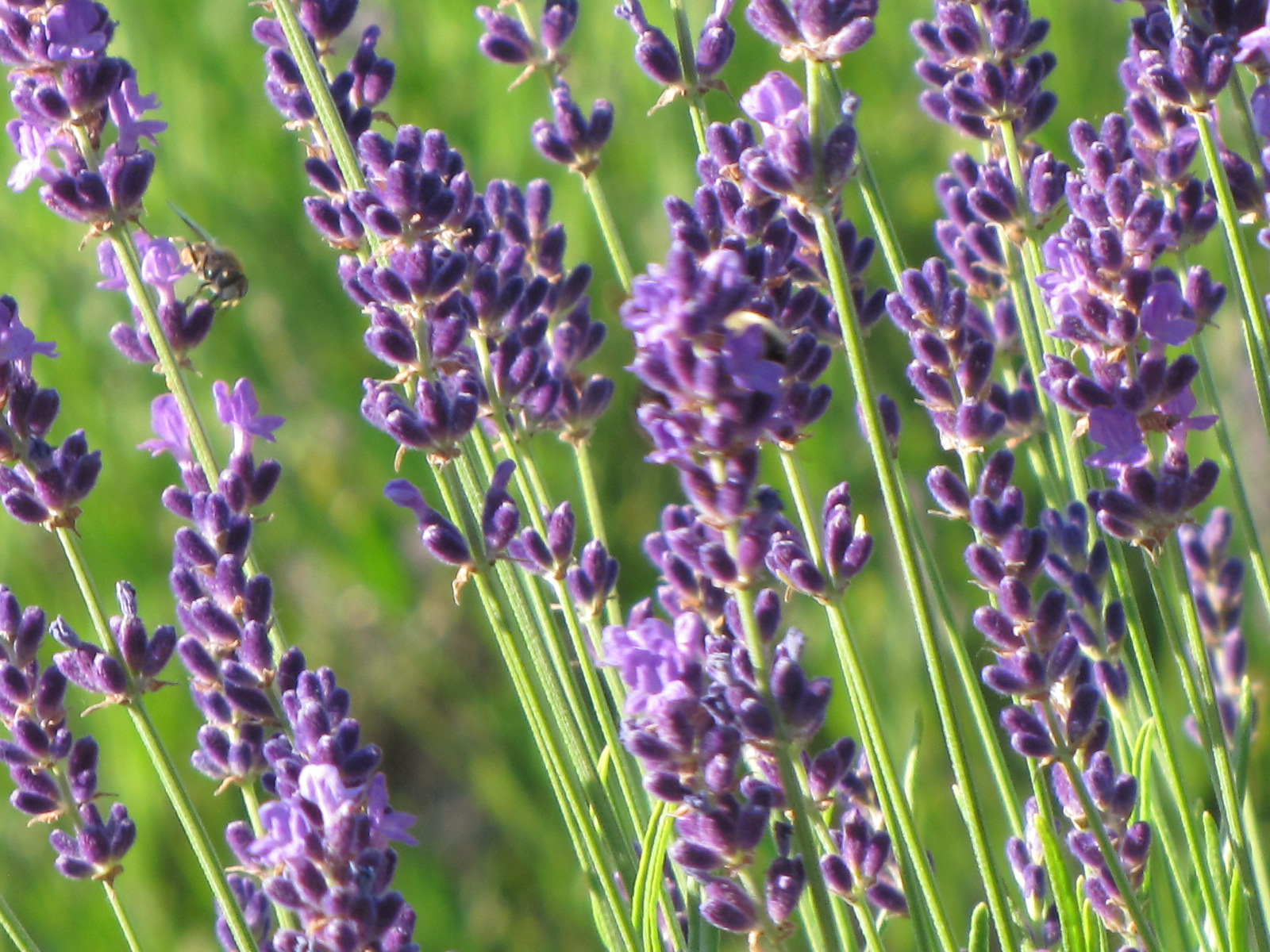 Lockwood Lavender Farm: When to pick lavender? This weekend!