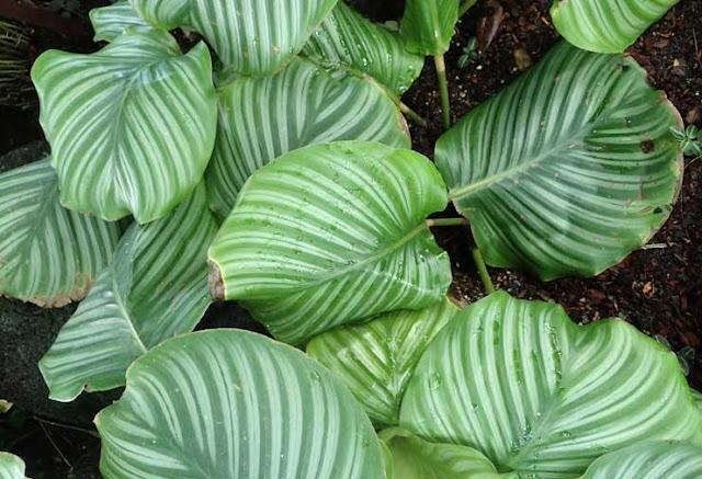 Calathea_orbifolia_kz1