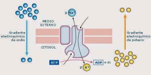 metabolismo de las proteínas experiencia