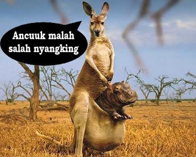 kanguru lucu bawa anak kudanil