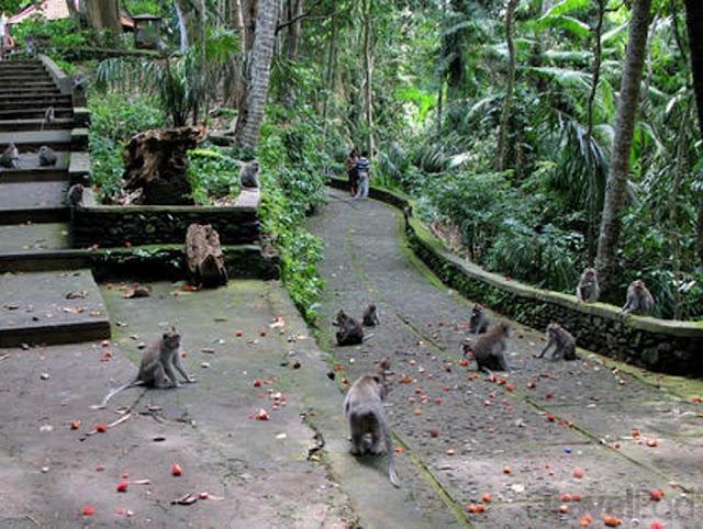 Wisata Monkey Forest Ubud Di Bali