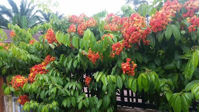 Jual Pohon Kockiana Baohinia | Pohon Rambat Bauhinia