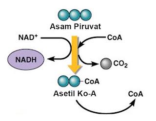 dekarboksilasi oksidatif hasil, hasil dekarboksilasi oksidatif terdapat pada nomor, jelaskan dekarboksilasi oksidatif, jalur dekarboksilasi oksidatif, proses dekarboksilasi oksidatif pada katabolisme gula, kapan dekarboksilasi oksidatif terjadi, katabolisme dekarboksilasi oksidatif, dekarboksilasi oksidatif lengkap, lokasi dekarboksilasi oksidatif, langkah dekarboksilasi oksidatif, dekarboksilasi oksidatif mengandung arti, dekarboksilasi oksidatif menghasilkan, tahap dekarboksilasi oksidatif mengubah asam piruvat menjadi, tahap dekarboksilasi oksidatif menghasilkan, reaksi dekarboksilasi oksidatif menghasilkan, peristiwa dekarboksilasi oksidatif menghasilkan molekul, tahap dekarboksilasi oksidatif menghasilkan produk, mekanisme dekarboksilasi oksidatif, pada dekarboksilasi oksidatif molekul piruvat diubah menjadi, pada tahap dekarboksilasi oksidatif oksigen berperan sebagai akseptor hidrogen, proses dekarboksilasi oksidatif pada organisme eukariotik, dekarboksilasi oksidatif piruvat, produk dekarboksilasi oksidatif pada respirasi aerob adalah, proses dekarboksilasi oksidatif terbaru, produk dekarboksilasi oksidatif pada respirasi aerob, proses dekarboksilasi oksidatif secara singkat, peristiwa dekarboksilasi oksidatif, reaksi dekarboksilasi oksidatif, reaksi dekarboksilasi oksidatif mengubah, respirasi dekarboksilasi oksidatif, perbedaan glikolisis dekarboksilasi oksidatif siklus krebs dan transpor elektron, hubungan glikolisis dekarboksilasi oksidatif siklus krebs dan transpor elektron, proses glikolisis dekarboksilasi oksidatif siklus krebs dan transpor elektron, perbedaan glikolisis dekarboksilasi oksidatif siklus krebs transpor elektron, keterkaitan glikolisis dekarboksilasi oksidatif siklus krebs dan transpor elektron, proses glikolisis dekarboksilasi oksidatif siklus krebs transpor elektron, skema dekarboksilasi oksidatif, keterkaitan proses glikolisis dekarboksilasi oksidatif siklus krebs dan transpor elektron, substrat dekarboksilasi oksidatif, tabel perbeda