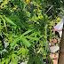 Συνελήφθη  σε χωριό της Άρτας για καλλιέργεια και διακίνηση κάνναβης