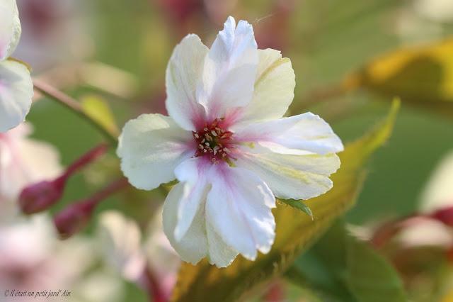 prunus gyoiko fleurs vertes blanches roses
