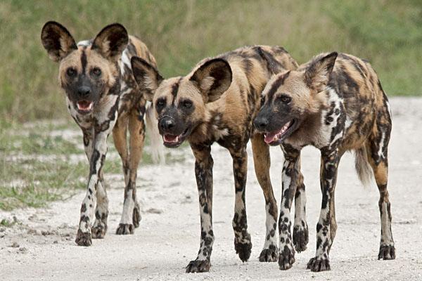 Resultado de imagem para cachorros selvagens africa comendo cachorros