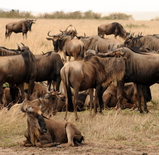 Picture of wildebeests at masai mara game reserve.
