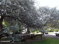 Buttonwood tree, Foster Botanical Garden - Honolulu, HI