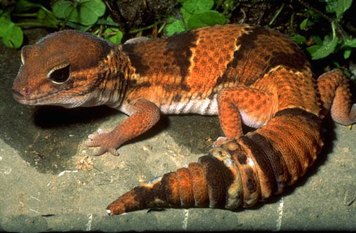 So Finally You Ve Decided To Get A Gecko Fun Animals