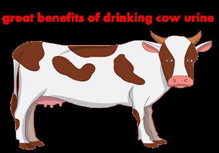 गोमूत्र पीने के 10 बड़े फायदे