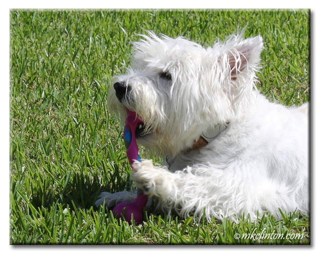 Westie chewing on toy
