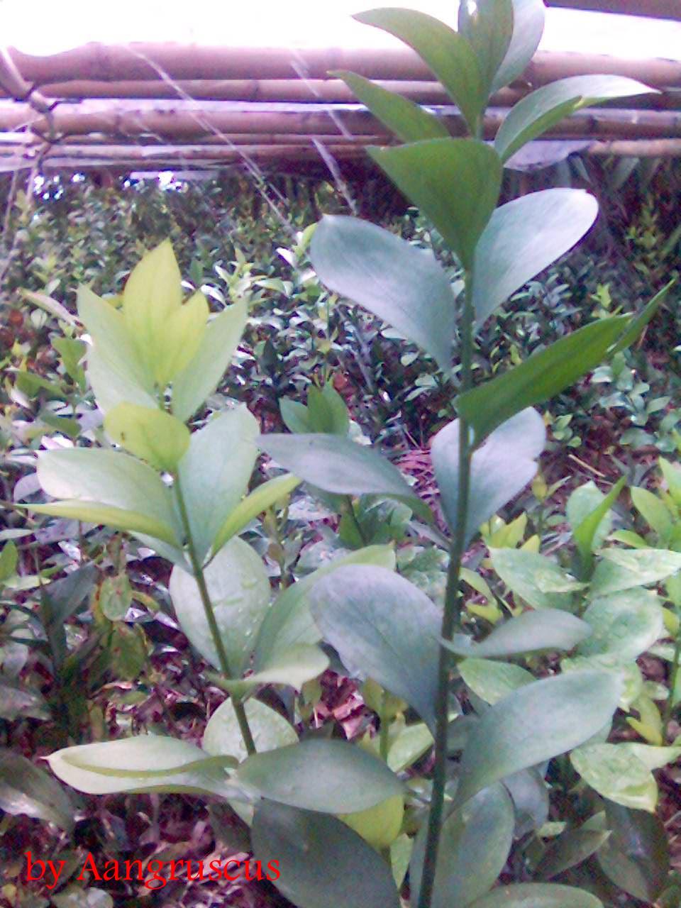 bunga potong ruscus Aang Juni 2013