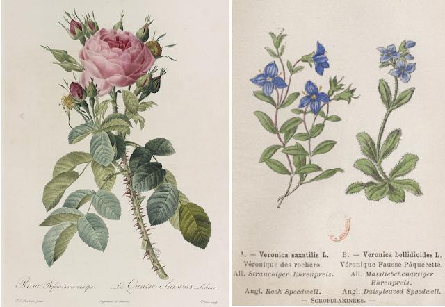 Gravure rose et véronique