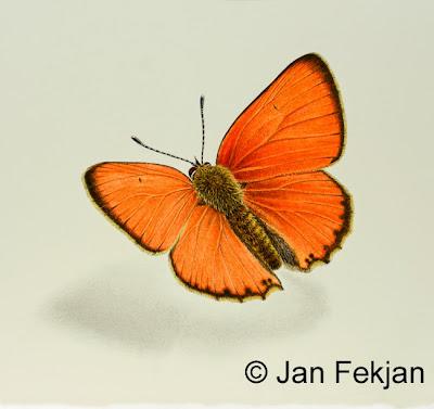 Bilde av digigrafiet 'Østlandsk gullvinge, hann'. Digitalt trykk laget på bakgrunn av maleri av sommerfugl. Illustrasjon av oransjegullvinge, Lycaena virgaureae. Arten har nylig fått nytt navn; oransjegullvinge. Hovedmotivet er en oransje sommerfugl med mørke kanter på vingene, som sitter på en nøytral hvit bakgrunn. Bildet er nærmest kvadratisk.