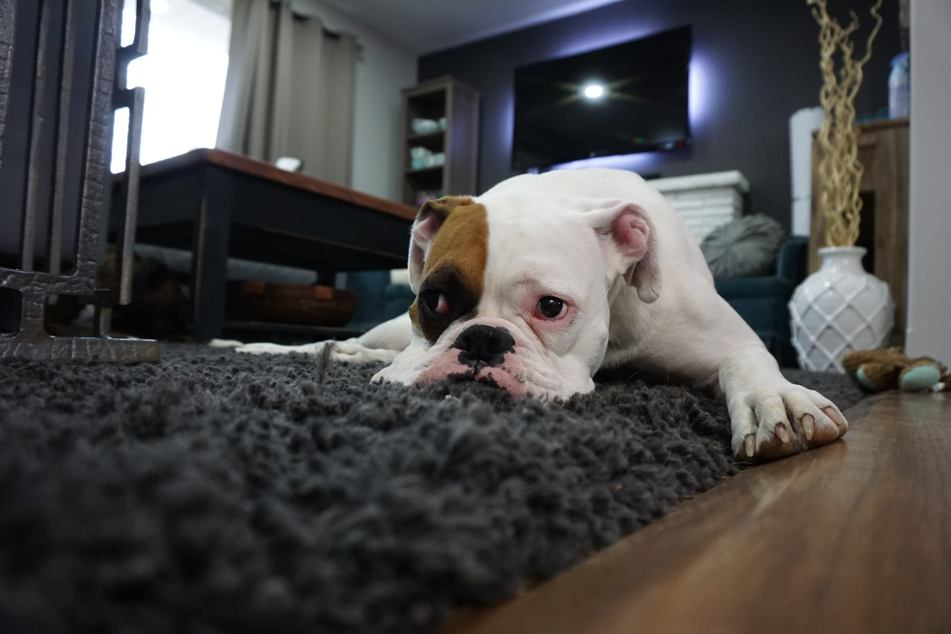 Qu'est-ce que la constipation chez les chiens?