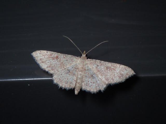 Cyclophora nanaria