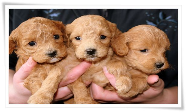 healthy golden retriever puppies reviews