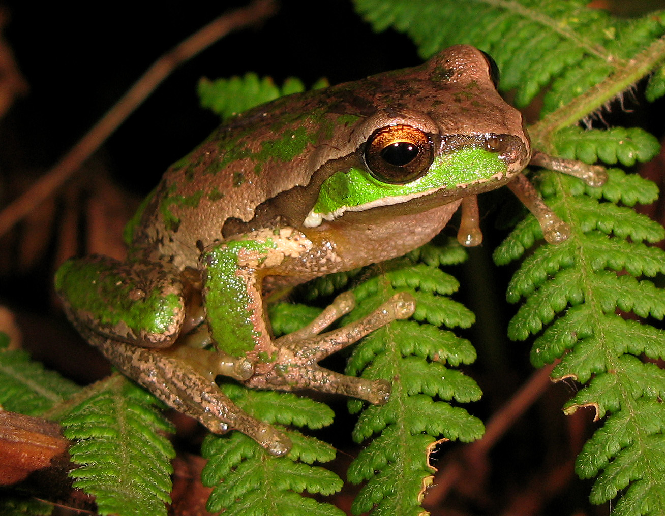Amphibians: New England Tree Frog