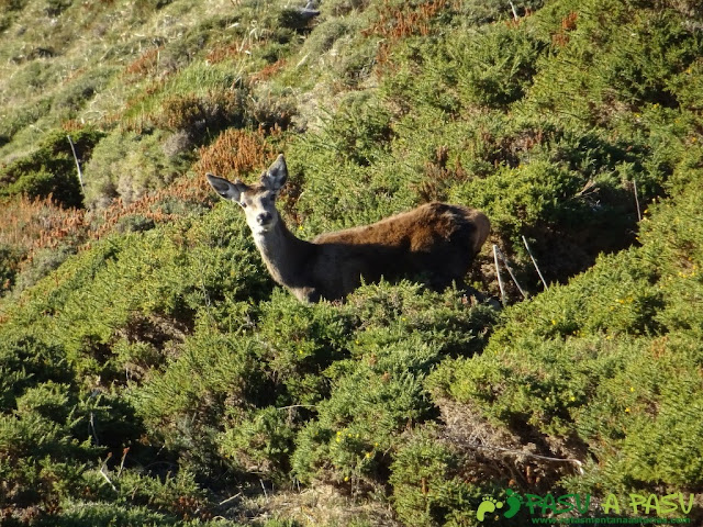 Ciervo en la zona de la Llambria
