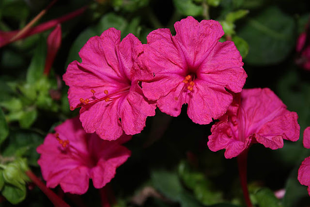 Mirabilis jalapa (The four o'clock flower) pink flowers close-up