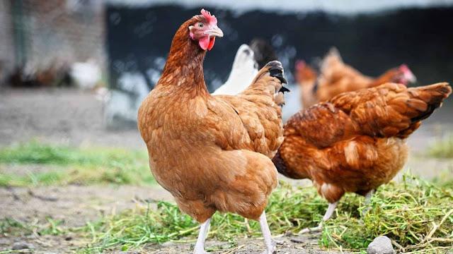 Peluang Usaha / Investasi Ayam Kampung & Analisa Usahanya