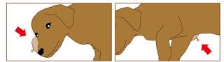 locais de escaras ou ulcera de pressão em cães